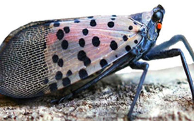 Spotted Lanternfly Informational Videos Available on Senator Schwank's Website